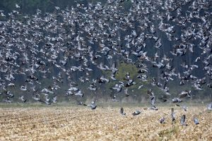 Wood Pigeon - large flock in flight