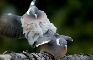 Wood Pigeons - mating