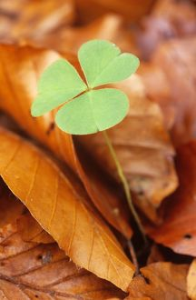 Wood Sorrel - new shoot among old Beech leaves