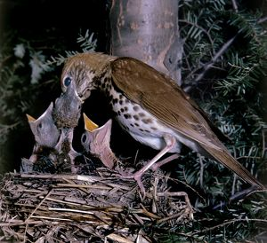 Wood Thrush - at nest with young