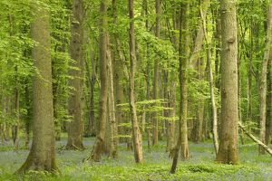 Woodland with fallen tree - Bluebells carpet forest floor