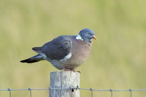 Woodpigeon - on fence post
