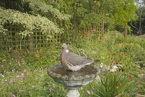 Woodpigeon - in garden bird bath