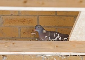 Woodpigeon on nest constructed from brick ties taken from building site
