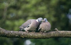 WOODPIGEONS - x two, on branch