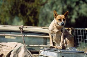 Working DOGS - Australian red cattle dog on back of truck