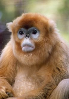 WW-4018 GOLDEN / SNUB NOSED MONKEY