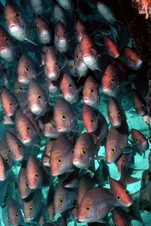 Yellow-banded SNAPPER / Sea Perch / Hussar - school congregated off the reef edge at Heron Island.