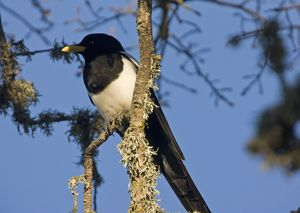 Yellow-billed Magpie - perched in tree. Endemic