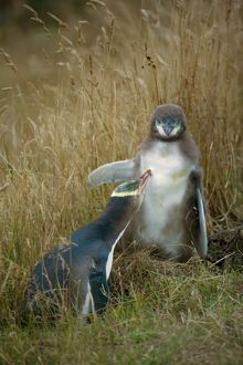 Yellow-eyed Penguin - adult and chick interacting by adult caring for its chick's