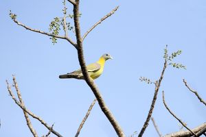 Yellow-footed Green Pigeon / Yellow-legged Green Pigeon