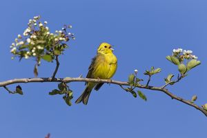 Yellowhammer - perched on whitethorn branch - singing