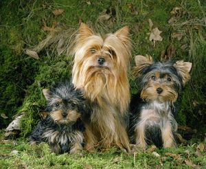 Yorkshire Terrier Dog - adult & puppies