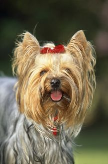 Yorkshire TERRIER DOG - c/up of face