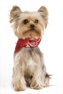 Yorkshire Terrier Dog - With neckchief