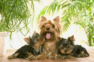 Yorkshire Terrier Dog - with puppies