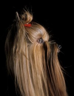 Yorkshire Terrier Dog - Side view