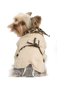 Yorkshire Terrier Dog - wearing coat