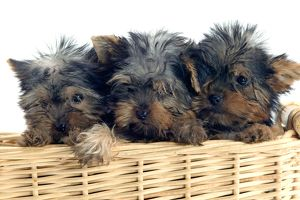 Yorkshire Terrier Dogs - three puppies in basket