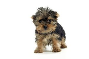 Yorkshire Terrier Dogs - puppy standing