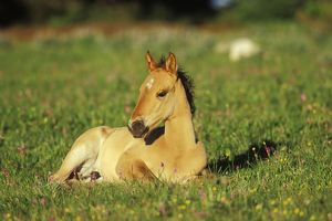 Young Mustang Wild Horse - Colt resting in meadow amongst wildflower
