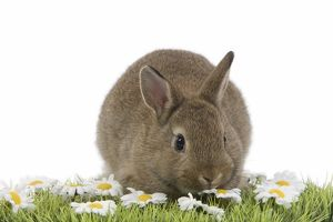 Young Rabbit - in studio on grass & flowers