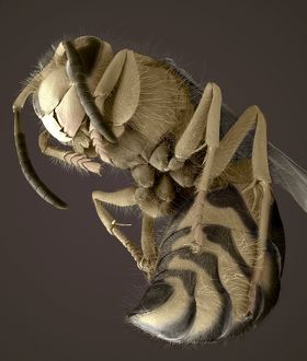 Common wasp, SEM
