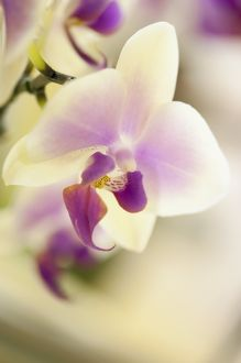 Doritaenopsis Jiaho Kitty Face 'Rainbow'