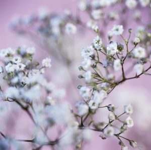 Gypsophila flowers (Gypsophila sp.)