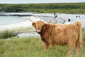Highland cattle by the sea