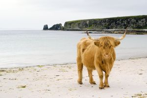 Highland cow on a beach