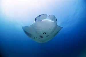 Manta ray swimming in open ocean