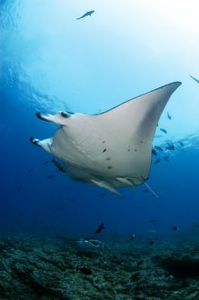 Manta rays swimming over reef