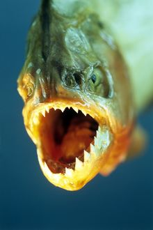 Piranha's mouth