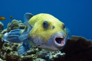 Star pufferfish and cleaner wrasse