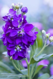 Stocks (Matthiola incana)