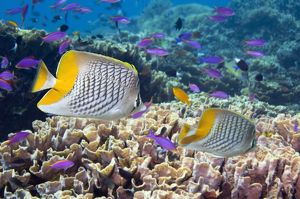 Yellowtail butterflyfish