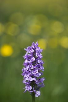 England, Northumberland, Common Spotted Orchid