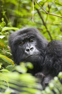 Adult female mountain gorilla (Gorilla gorilla beringei)