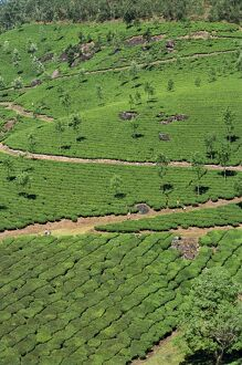 Aerial view of green landscape of tea gardens