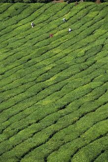 Aerial view of rows of tea bushes in tea gardens