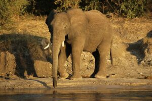African elephant drinking, Zambesi River, Victoria Falls National Park, Zimbabwe, Africa