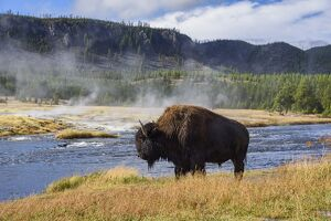 American Bison (Bison bison), Little Firehole River, Yellowstone National Park, UNESCO