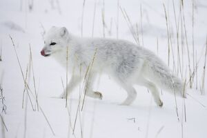 Arctic fox (Alopex lagopus) running in snow, near Churchill, Manitoba, Canada