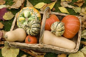 A basket of winter squash (Cucurbitaceae)