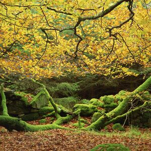 Beech trees and fall foliage, with lichen on fallen branches