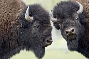 Two bison (Bison bison) bulls facing off, Yellowstone National Park, Wyoming