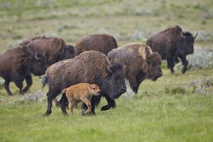 Bison (Bison bison) cow and calf running in the rain, Yellowstone National Park, Wyoming