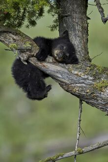 Black Bear (Ursus americanus) cub of the year or spring cub, Yellowstone National Park