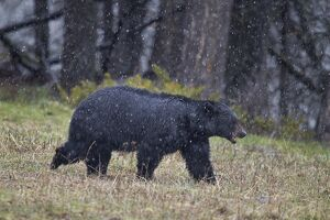 Black bear (Ursus americanus) in the snow, Yellowstone National Park, UNESCO World Heritage Site